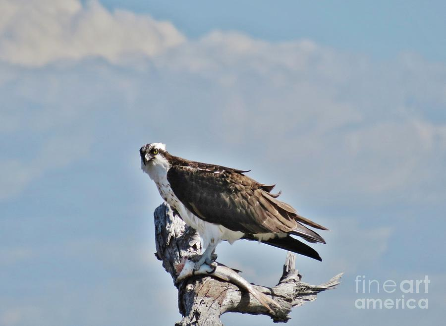 Osprey At Lunch Photograph