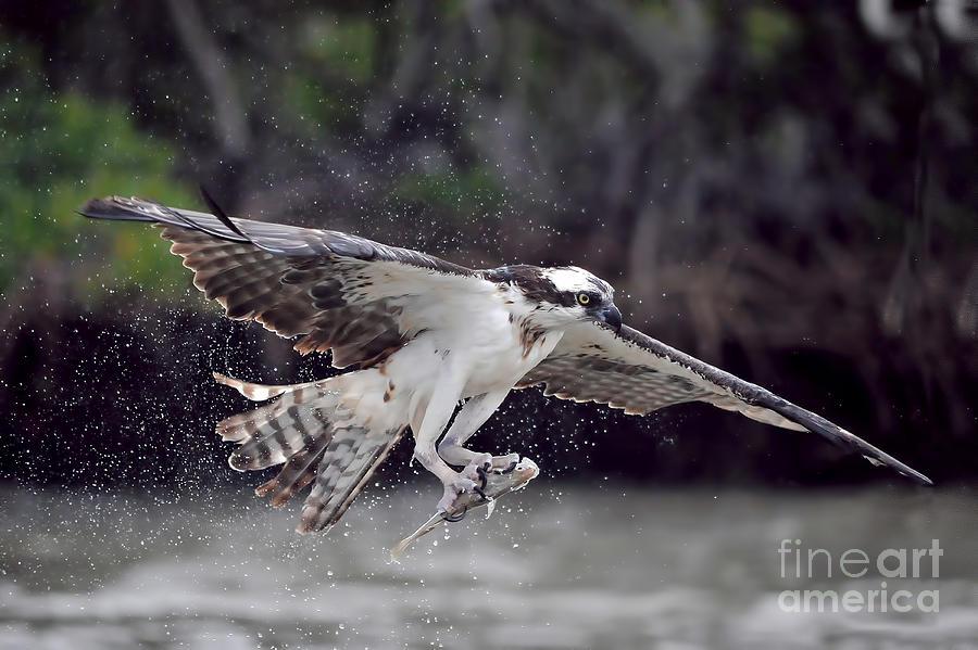 Osprey catching fish photograph by dan friend for Osprey catching fish