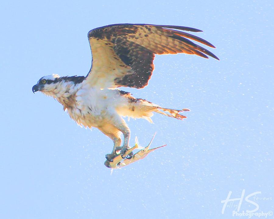 Osprey catching needle fish photograph by holly stevens for Osprey catching fish