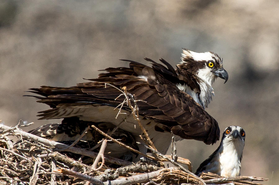 Osprey Family Huddle Photograph