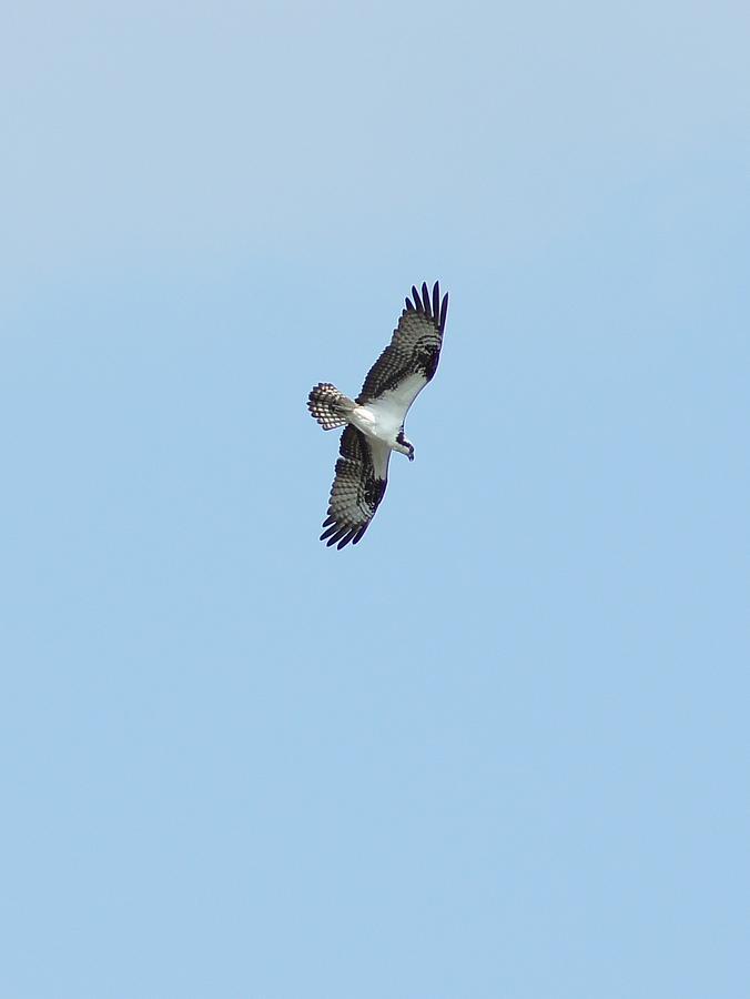 Osprey Photograph - Osprey Overhead by Lynda Dawson-Youngclaus