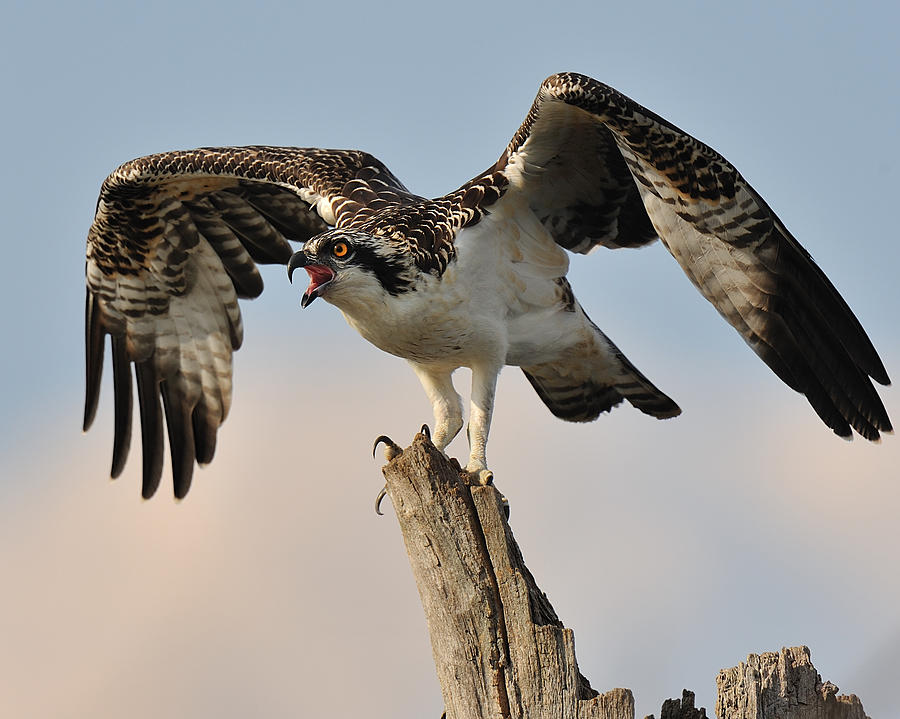 Wildlife Digital Art - Osprey Scream by Angel Cher