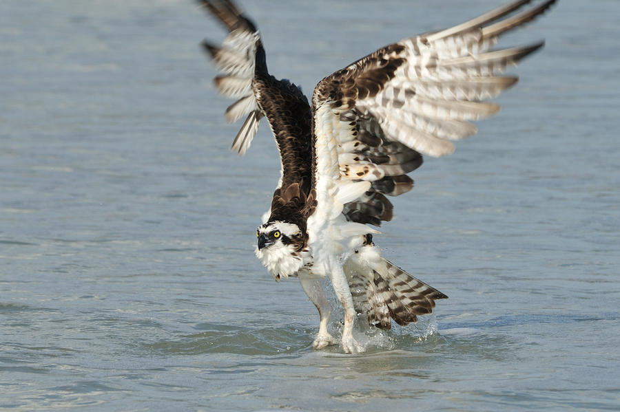 Osprey Taking Off Photograph