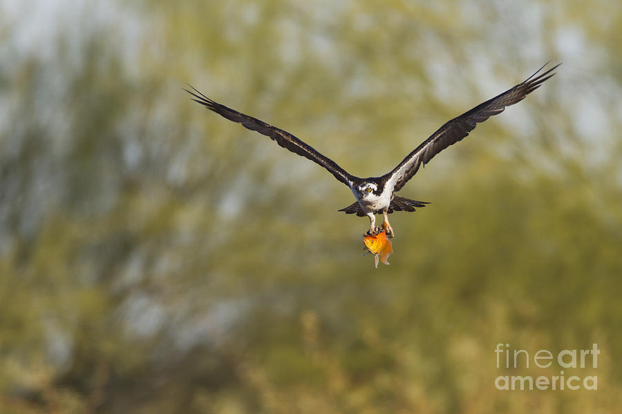 Osprey With Goldfish Photograph  - Osprey With Goldfish Fine Art Print