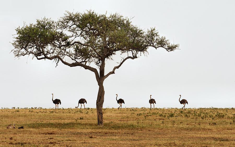 Ostrich Walk Photograph