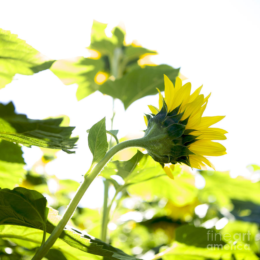 Growth; Agriculture; Nature; Square; Outdoors; Back Lit; France; Yellow; Summer; Sunflower; Field; Day; Auvergne; Color Image; Overexposed; No People; Photography; Sunny Photograph - Overexposed Sunflower by Bernard Jaubert