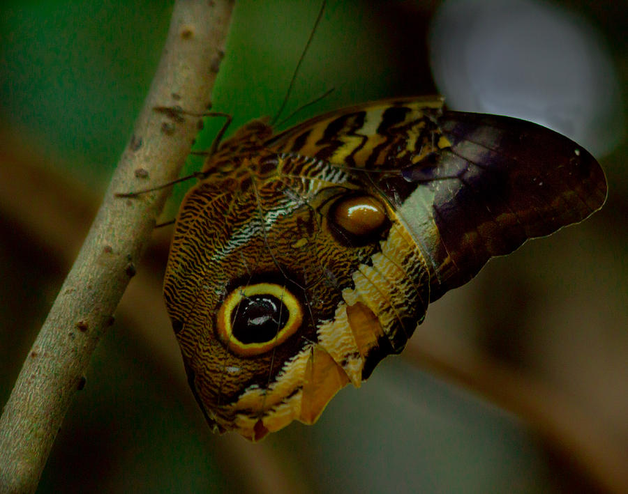 Owl Butterfly On Tree Photograph