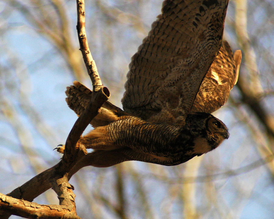 Owl Take Off Photograph