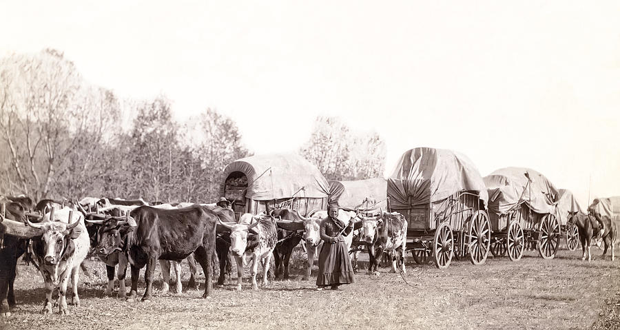 Ox-driven Wagon Freight Train C. 1887 Photograph