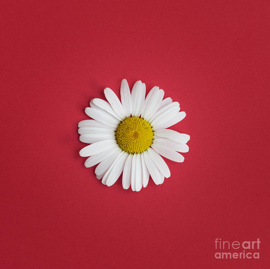 Oxeye Daisy Square Red Photograph  - Oxeye Daisy Square Red Fine Art Print