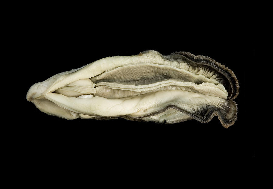 Oyster Suspended In Darkness Photograph