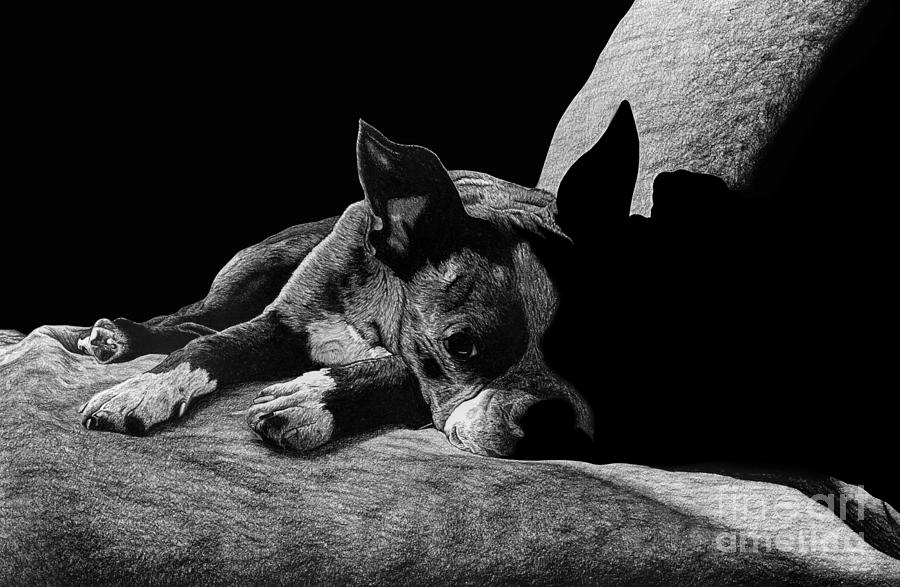 Ozzy The Boston Terrier Drawing  - Ozzy The Boston Terrier Fine Art Print