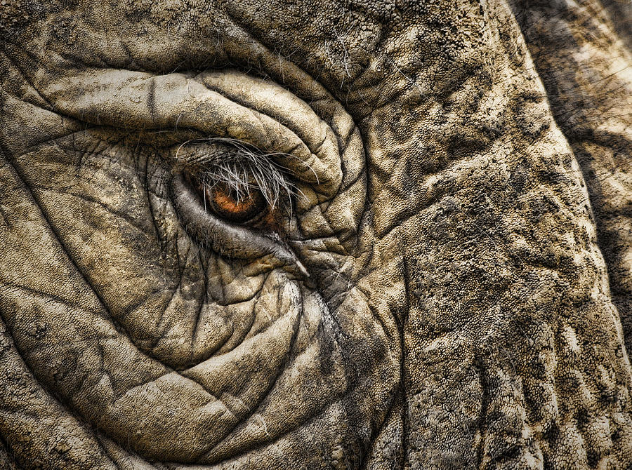 Elephants Photograph - Pachyderm Skin by Daniel Hagerman