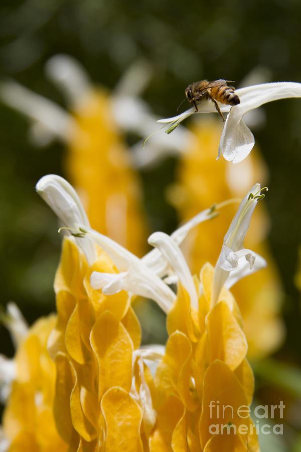 Aloha Photograph - Pachystachys Lutea - Lollipop Plant - Golden Candle - Shrimp Plant by Sharon Mau