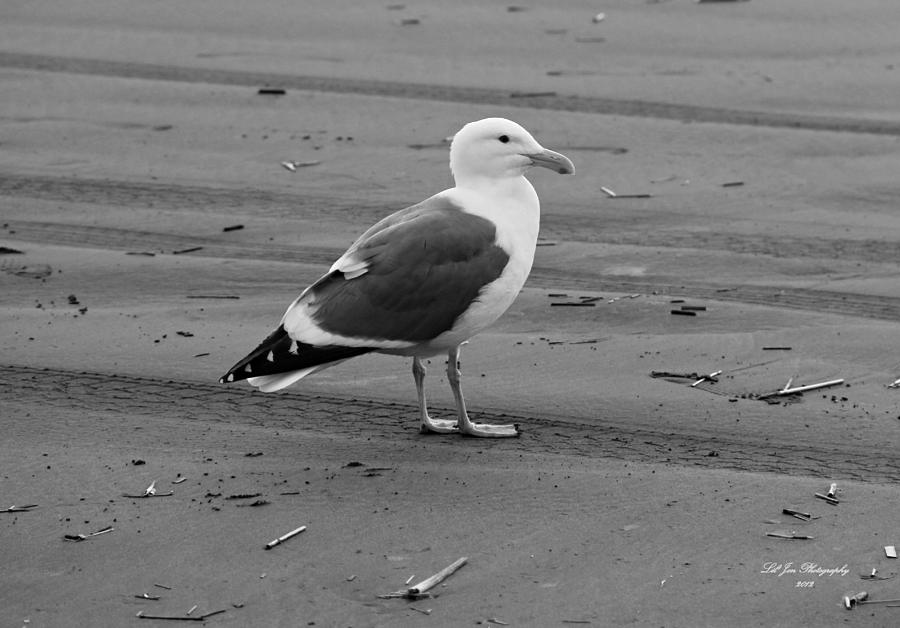 Pacific Seagull In Black And White Photograph