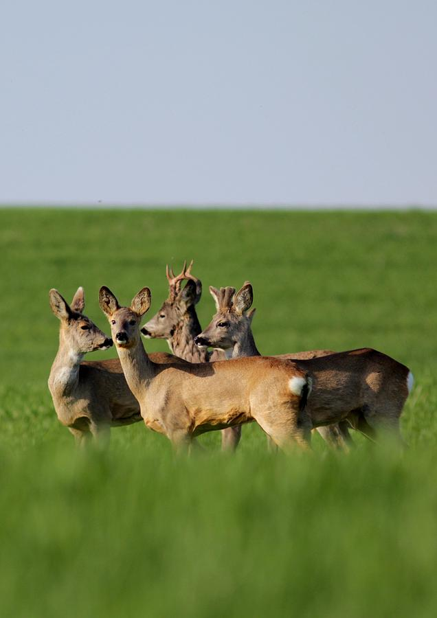 Pack Of Roe Deer Photograph  - Pack Of Roe Deer Fine Art Print