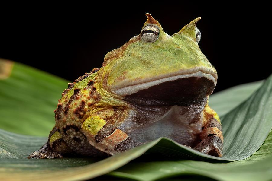 Pacman Frog  Photograph