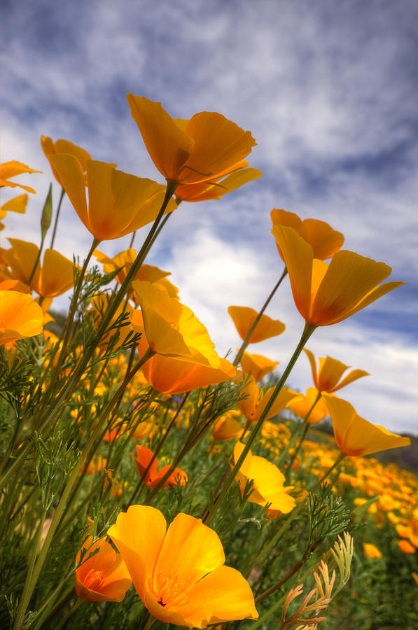 Paint The Desert With Poppies  Photograph