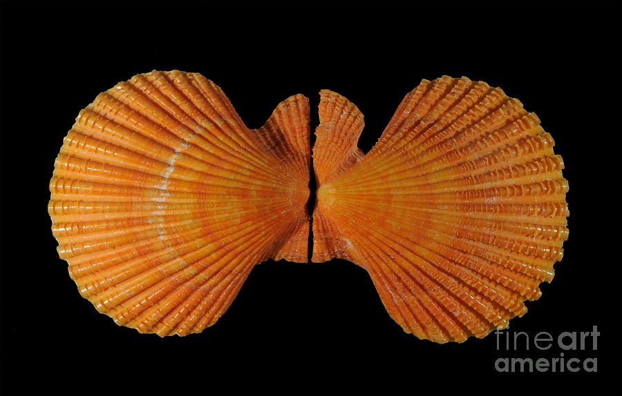 Nature Photograph - Painted Scallop by Scott Camazine