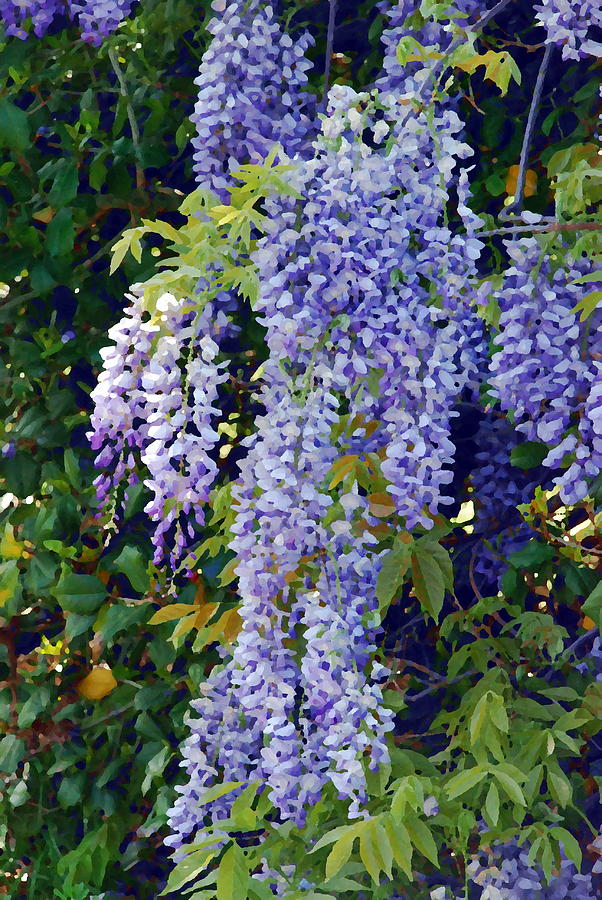 Painted Wisteria  Photograph