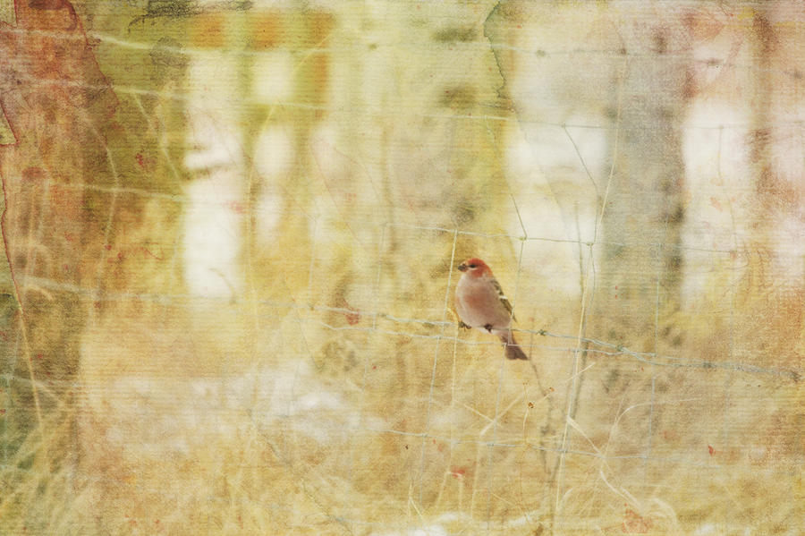 Painterly Image Of A Male Pine Grosbeak Photograph  - Painterly Image Of A Male Pine Grosbeak Fine Art Print