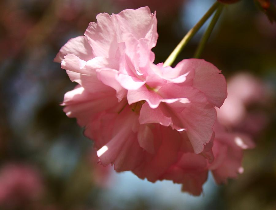 Flower Photograph - Pale Pink Blossom by Robin Mahboeb