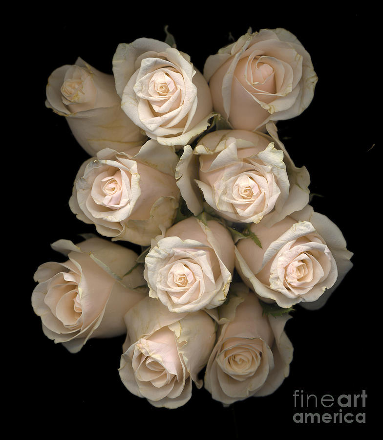 Pale Roses Photograph