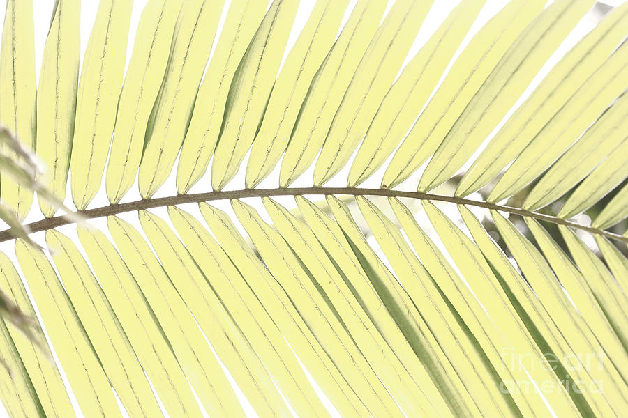 Palm Leaf Photograph