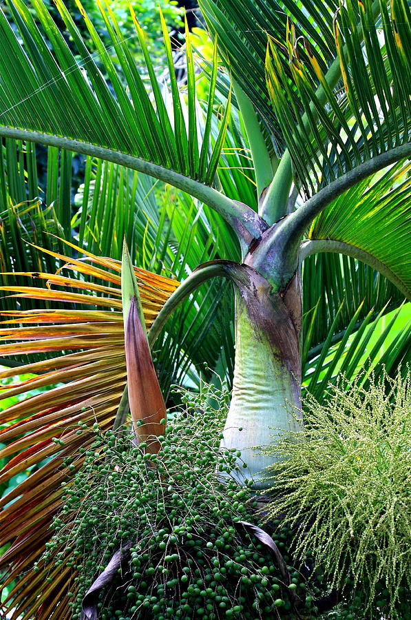 Palm Tree Inflorescence In The Rainforest  Photograph  - Palm Tree Inflorescence In The Rainforest  Fine Art Print