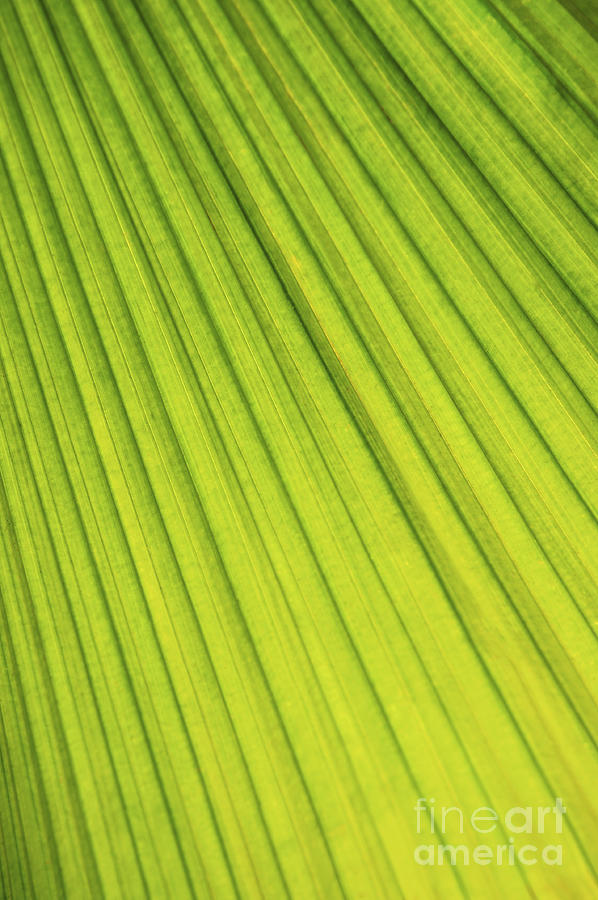 Palm Tree Leaf Abstract Photograph  - Palm Tree Leaf Abstract Fine Art Print