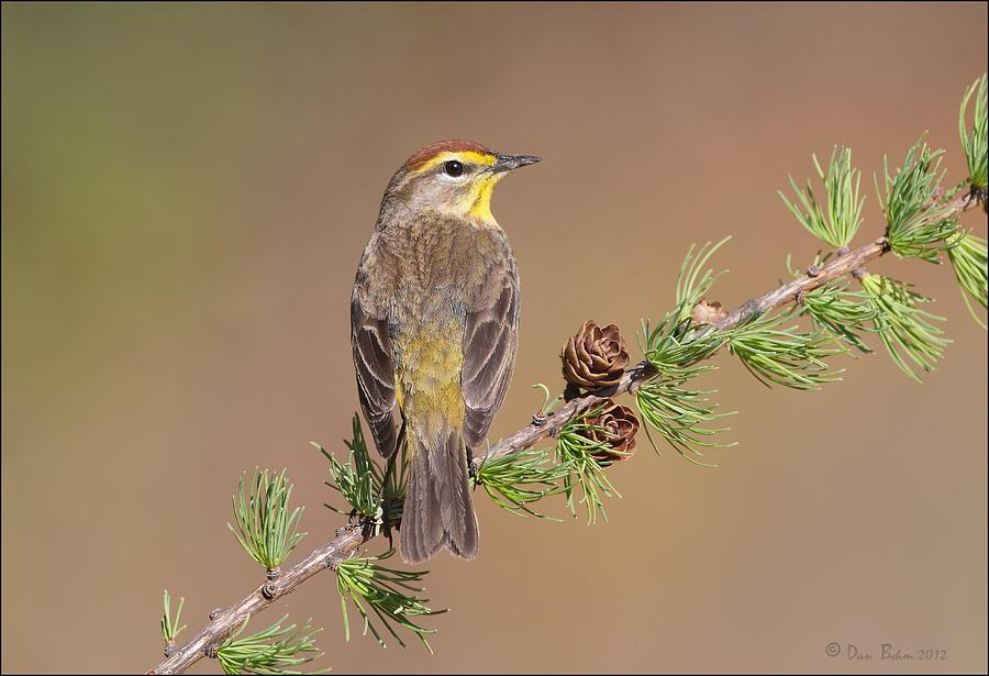 Palm Warbler  Photograph