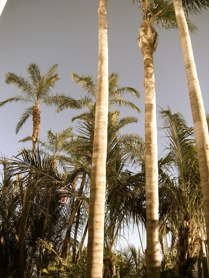 Palms Photograph