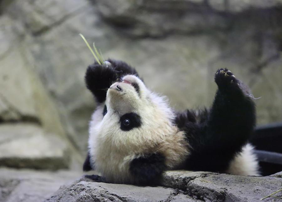 Panda Photograph - Panda Cub by Jack Nevitt