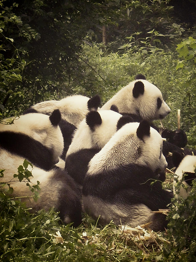 Pandamonium Photograph