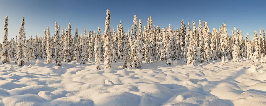 Panoramic View Of Snow-covered Spruce Photograph