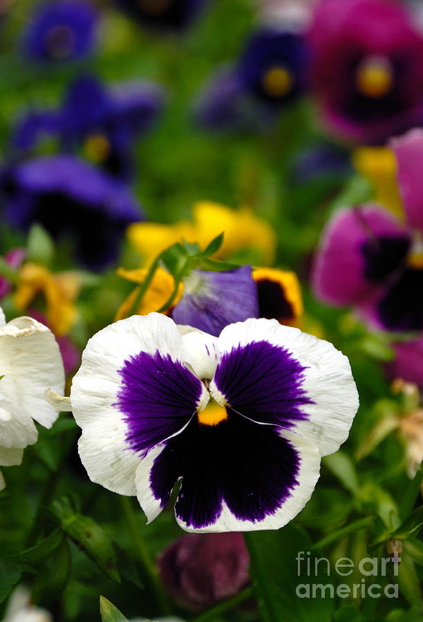 Pansies Photograph  - Pansies Fine Art Print