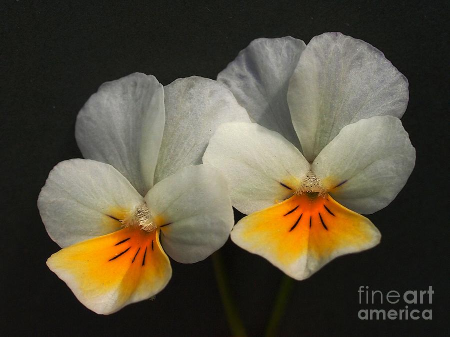 Pansies For Your Thoughts Photograph  - Pansies For Your Thoughts Fine Art Print