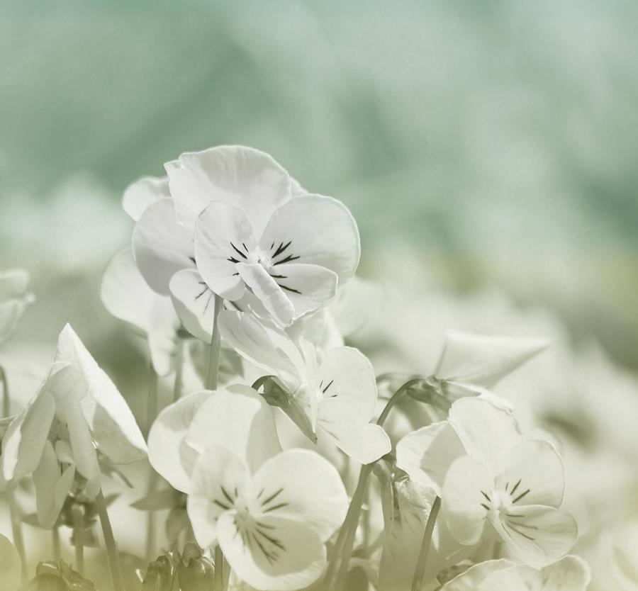 Pansy Photograph - Pansy Flowers by Kim Hojnacki