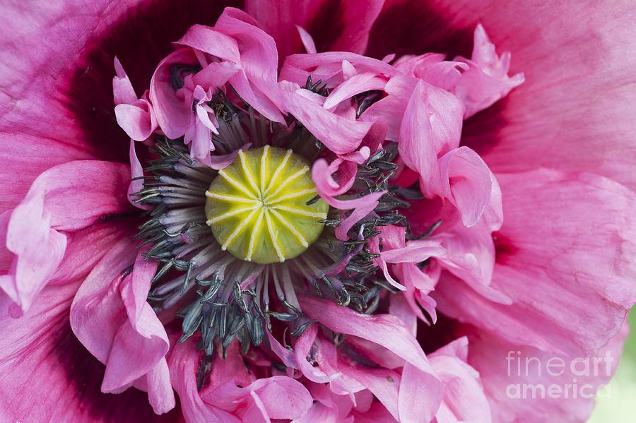Papaver Somniferum Pink  Photograph