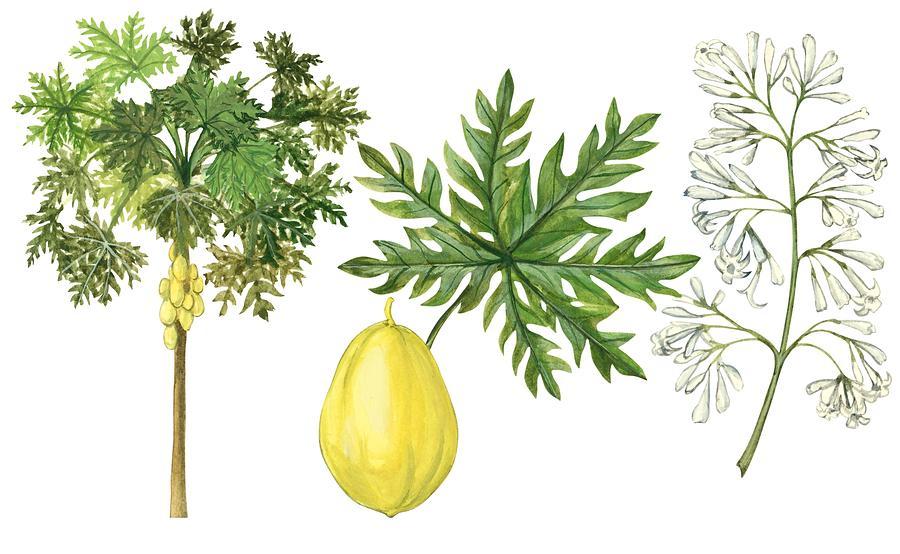 No People; Horizontal; Part Of; White Background; Tree; Tropical Fruit; Close Up; Illustration And Painting; Green; Botany; Leaf; Branch; Yellow; Papaya; Carica Papaya; Pawpaw Tree Drawing - Papaya by Anonymous