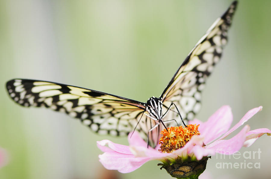 Paper Kite Butterfly On Zinnia Photograph  - Paper Kite Butterfly On Zinnia Fine Art Print