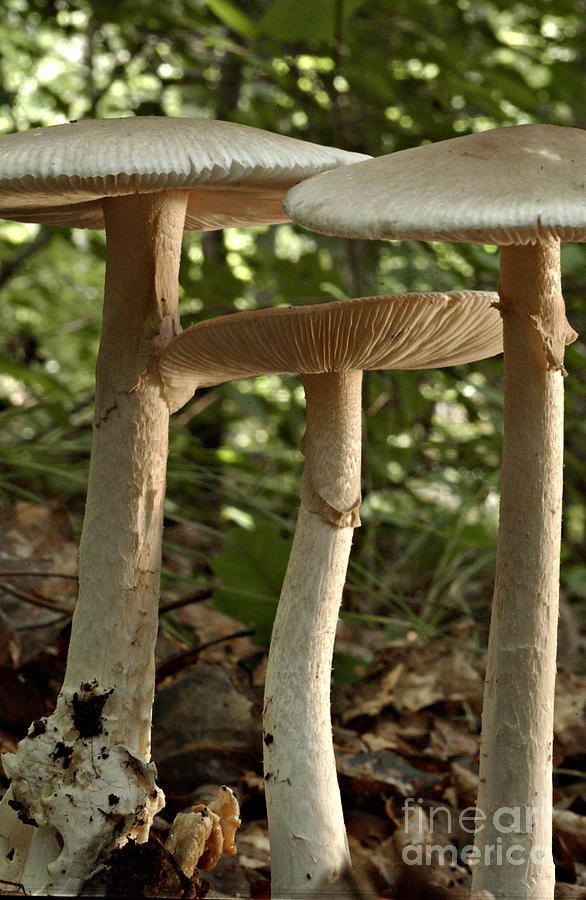 Parasol Mushrooms Macrolepiota Sp Photograph
