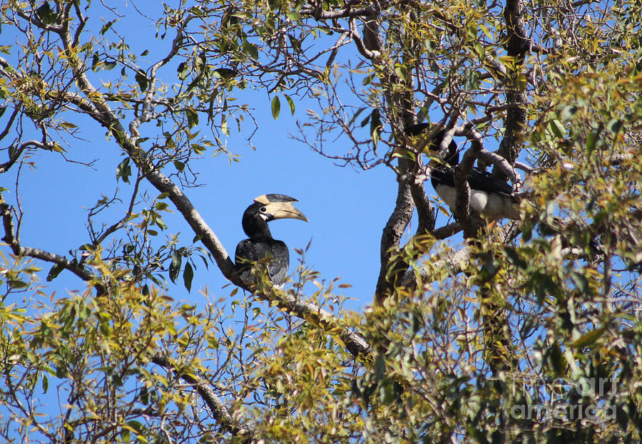Birds Photograph - Hornbills With A Black Eye by Four Hands Art
