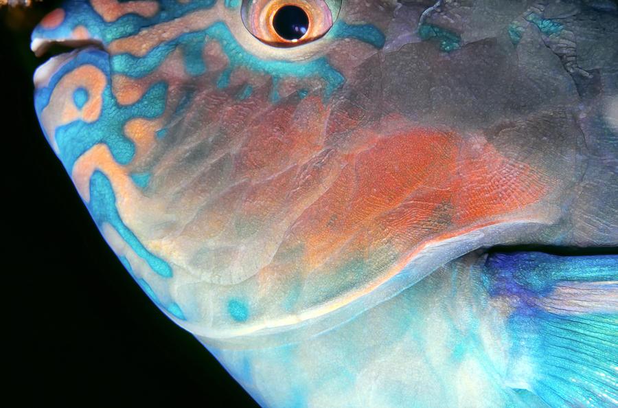 Parrotfish 2 Photograph