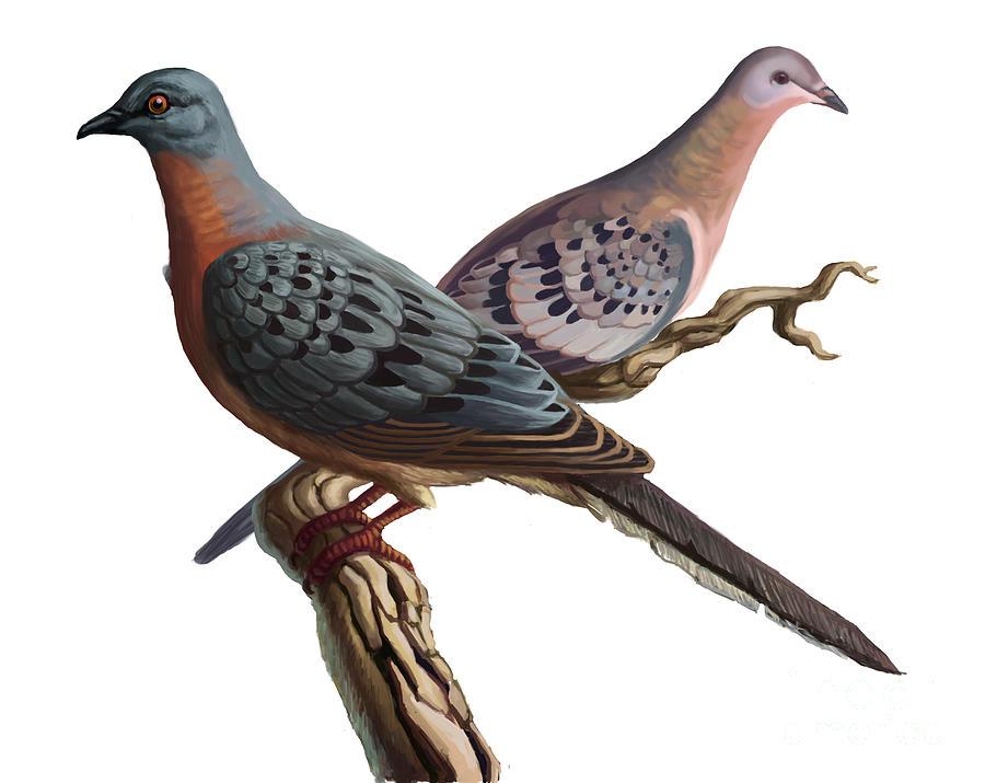 Passenger Pigeon Photograph