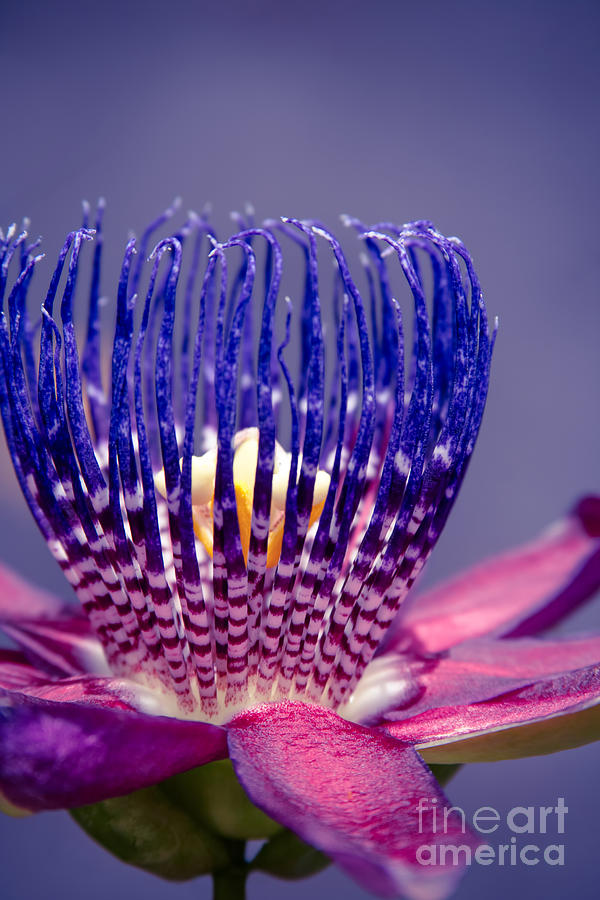 Passiflora Alata Photograph - Passiflora Alata - Ruby Star - Ouvaca - Fragrant Granadilla -  Winged-stem Passion Flower by Sharon Mau
