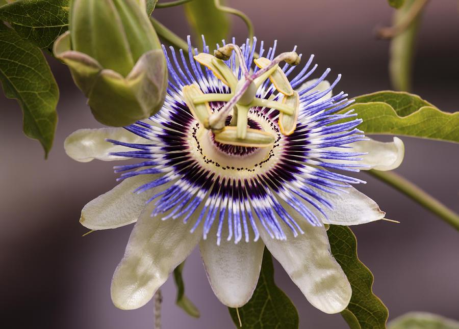 Passiflora Caerulea Photograph