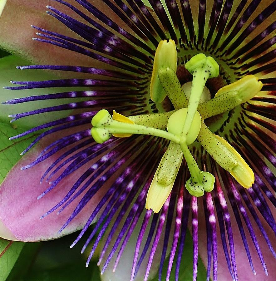 Passion Flower Up Close Photograph  - Passion Flower Up Close Fine Art Print