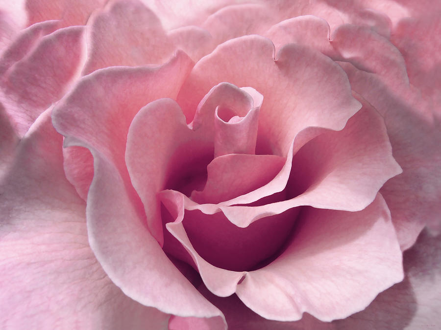 Passion Pink Rose Flower Photograph