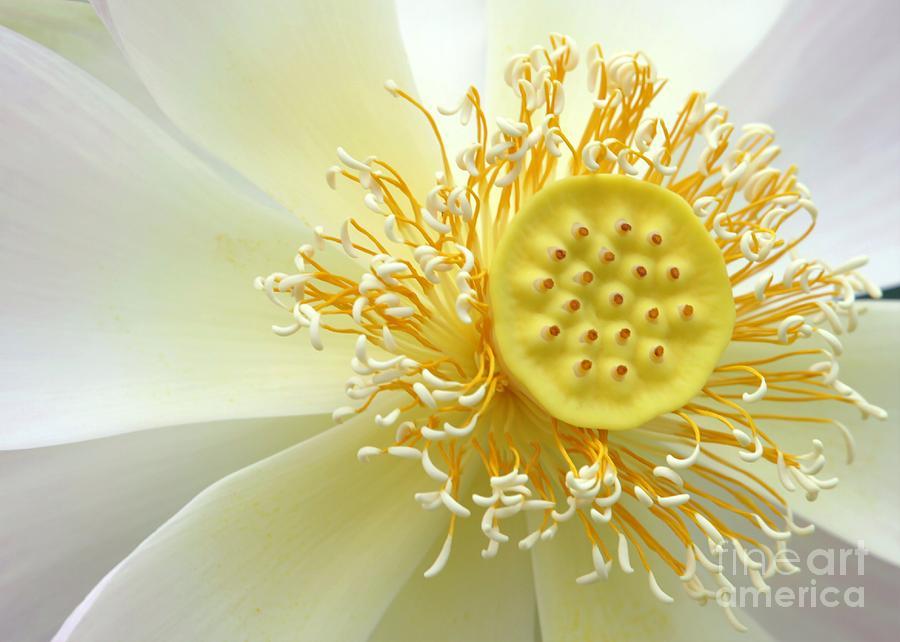 Pastel Lotus Photograph